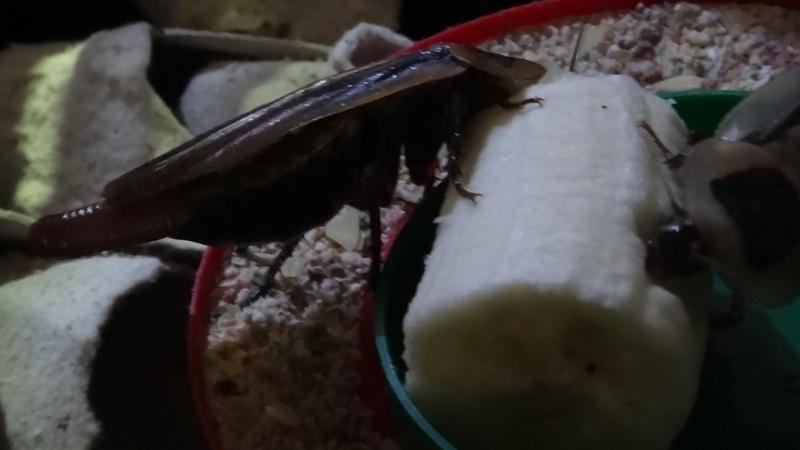 Blaberus discoidalis a banán