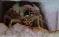 Detail hlavy Blaberus discoidalis na chlebu
