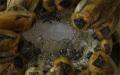 Strkanice Blaberus discoidalis na gelu