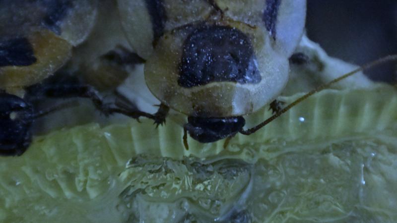 Samotář adult Blaberus discoidalis na gelu