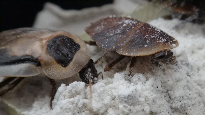 Blaberus discoidalis adult a semiadult na suché směsi