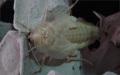 Blaberus discoidalis čerstvý adult samce se zárodky křídel