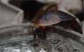 Blaberus discoidalis samotář na gelu detail hlavy
