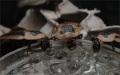 Skupina Blaberus discoidalis na gelu