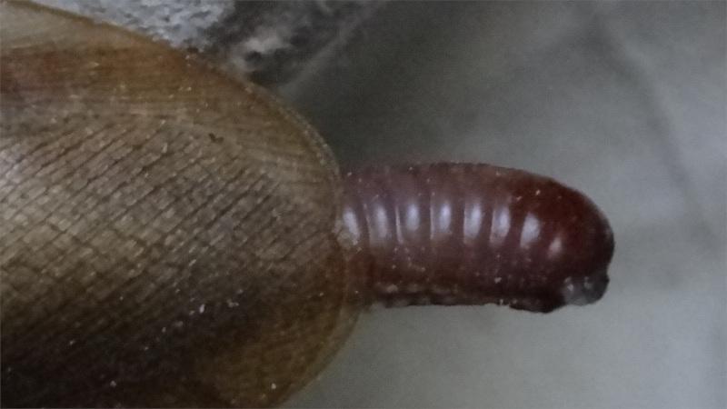 Blaberus discoidalis samice s naprasklou ootékou
