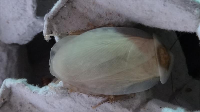 Blaberus discoidalis nový adult