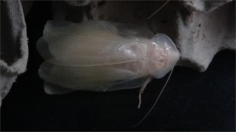 Blaberus discoidalis čerstvý adult shora