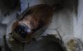 Blaberus discoidalis samice s ootékou v úkrytu