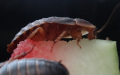 Krásná minutka detail Blaptica dubia adult a semiadult na melounu