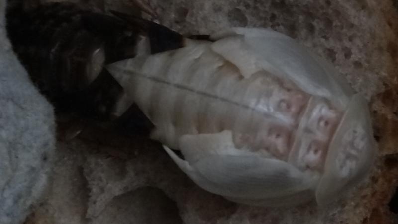 Šváb argentinský čerstvý adult samce se svlekem
