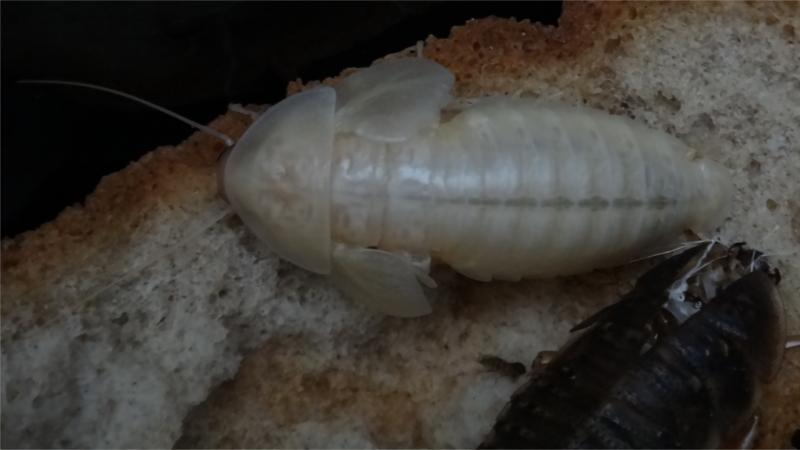 Šváb argentinský čerstvý adult samice se svlekem