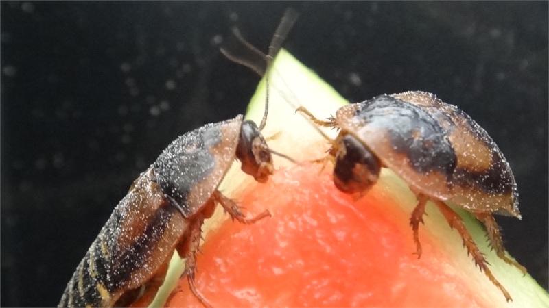 Dvojice švábů argentinských závodí o meloun