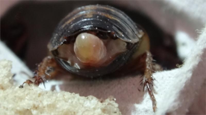Detail samice švába argentinského s ootékou zezadu