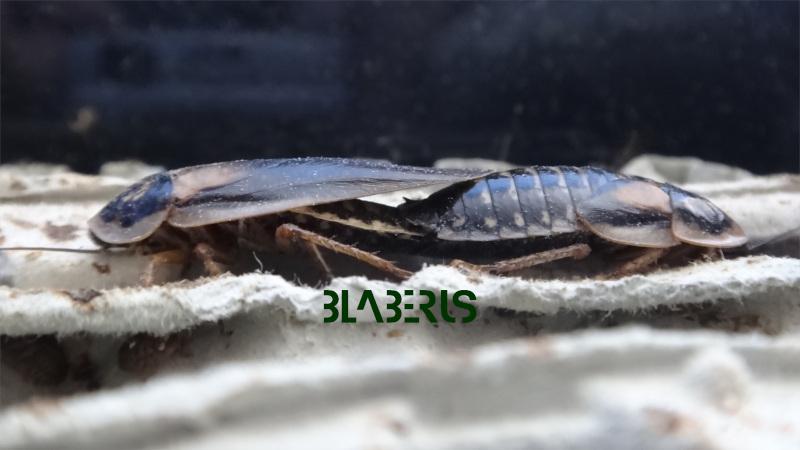 Spojení samice a samce švába argentinského