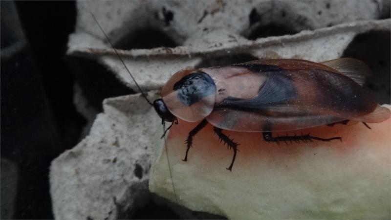 Detail Blaberus giganteus adult na melounu