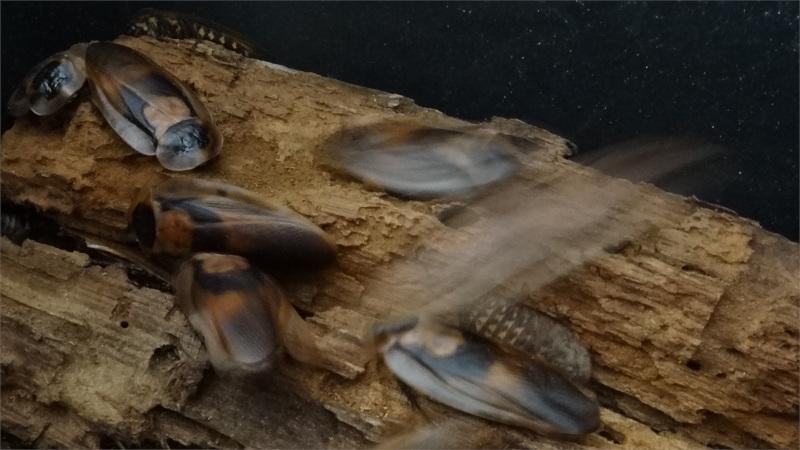 Skupina Blaberus giganteus na starém kmenu