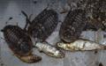 Potravou Blaberus giganteus suché rybičky