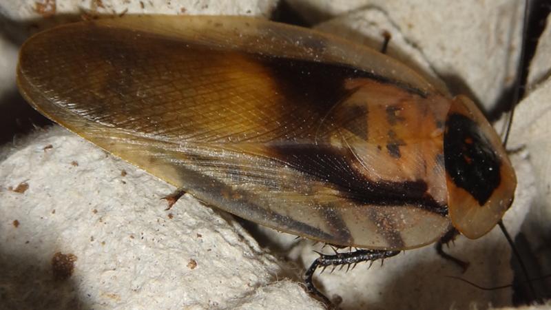 Samotář Blaberus giganteus adult na prokladku