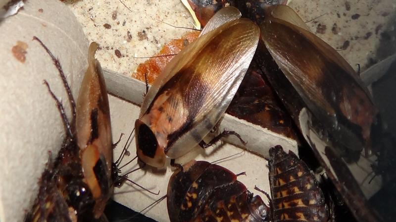 Skupina Blaberus giganteus