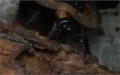 Potravou Blaberus giganteus starý vlhký ztrouchnivělý kmen