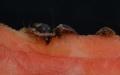 První švábi Blaptica dubia na čerstvém melounu