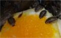 Mláďata švábů na pomeranči